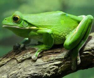 Kurbağa Büyüsü Nedir?